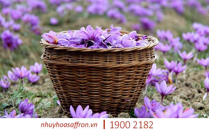 nhụy hoa nghệ tây saffron iran