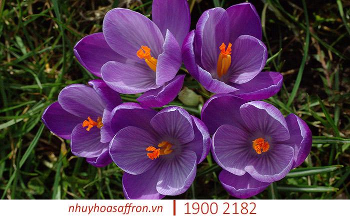 gia saffron iran