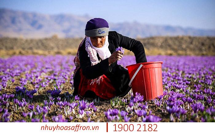 tac dung cua nhuy hoa nghe tay