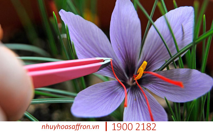 tac dung cua saffron iran