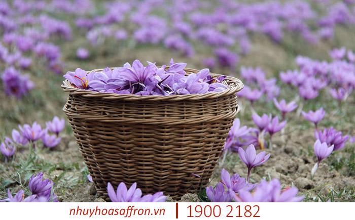 thành phần nhụy hoa nghệ tây saffron