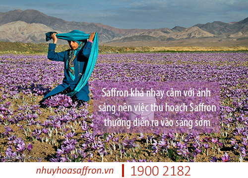cach bao quan nhuy hoa nghe tay saffron iran