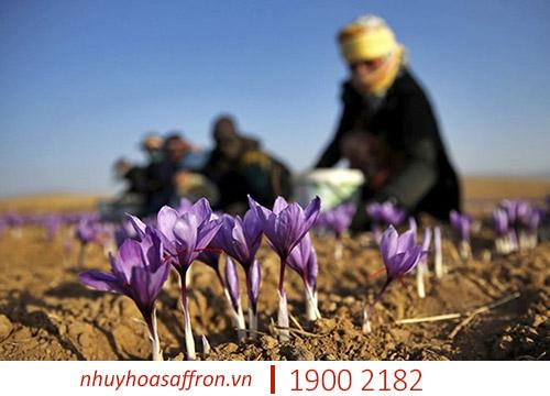 cach trong saffron