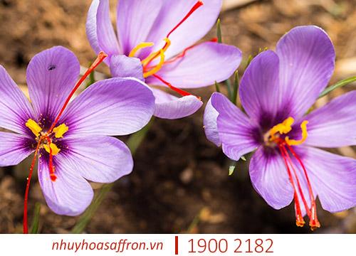 saffron nano là gì