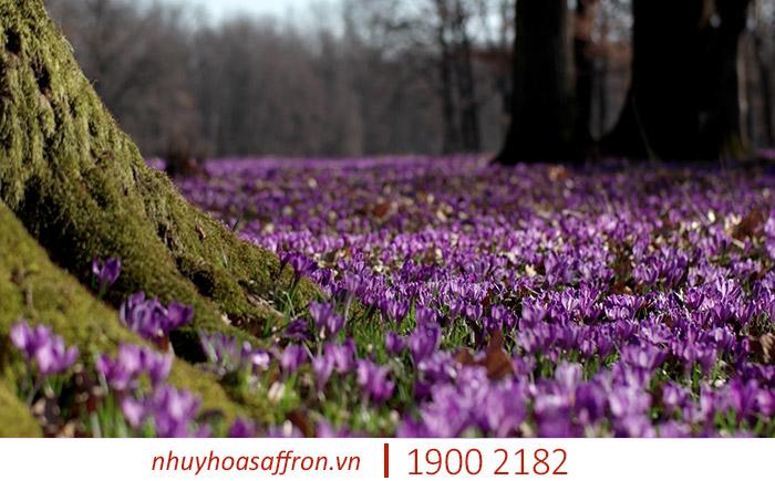 giá saffron iran ở việt nam