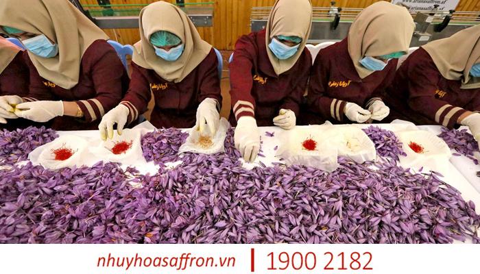 nhuy hoa saffron