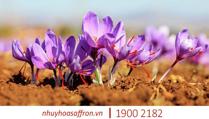 cach nhan biet nhuy hoa nghe tay saffron chinh hang 1
