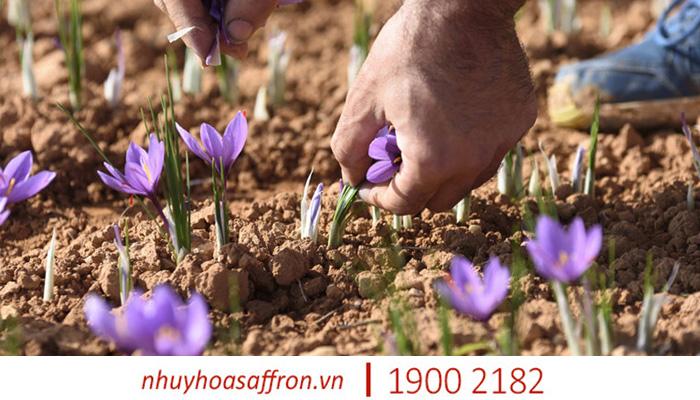 cach nhan biet nhuy hoa nghe tay saffron chinh hang 3