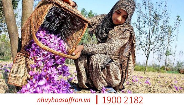 nhuy hoa nghe tay saffron co giam mat ngu khong 1