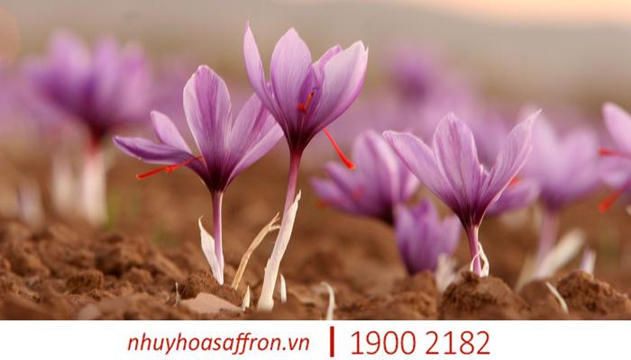 nhuy hoa nghe tay saffron co giam mat ngu khong